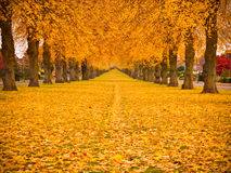 Autumn Leaves. Tree lined avenue in autumn fall with leaves covering the ground Royalty Free Stock Photography