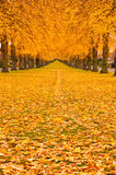 Autumn Leaves. Tree lined avenue in autumn fall with leaves covering the ground Royalty Free Stock Photos