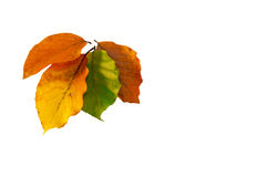 Autumn Leaves. Beech leaves on a white background Stock Images