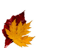 Autumn Leaves. Isolated on a white background Stock Image