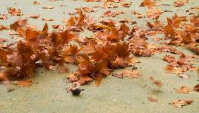 Autumn leaves. Scene with wind Royalty Free Stock Images