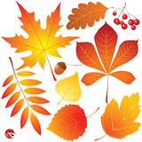 Autumn leaves. Set of autumn leaves -  illustration Stock Images