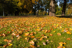 Autumn leaves. Yellow leaves on green grass in the park Stock Images