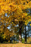 Autumn leaves. Yellow leaves on tree in the park Royalty Free Stock Photo