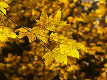 Autumn leaves 2. Colored leaves in autumn forest Stock Photography
