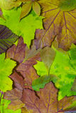 Autumn Leaves 2. A background textures of some leaves in autum colors Royalty Free Stock Images