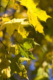 Autumn leaves. Leaves in a Warsawa, Poland in Autumn Royalty Free Stock Images