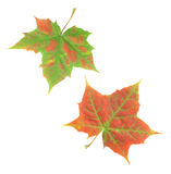 Autumn leaves. On isolated background royalty free stock image