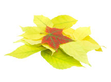 Autumn leaves. On isolated background royalty free stock photos