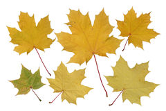 Autumn leaves. Royalty Free Stock Photos