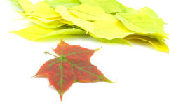 Autumn leaves. On a light background royalty free stock photography