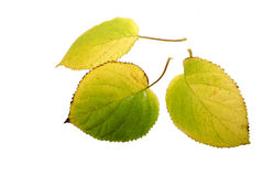 The autumn leaves. Which have fallen down autumn leaves of a hydrangea Stock Photo