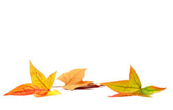 Autumn leaves. On a white background Stock Photo
