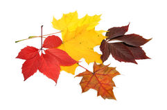 Autumn leaves. Colorful autumn leaves over white background with clipping path Royalty Free Stock Image