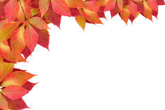 Autumn leaves. Isolated on a white stock image