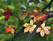Autumn Leaves. Beautiful autumn leaves change color in early October Royalty Free Stock Photography
