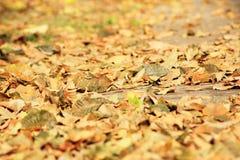 Autumn leaves. Beautiful colorful fall foliage in autumn Stock Image
