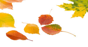 Autumn leaves. Isolated on white background Stock Image