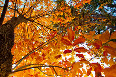 Autumn Leaves. Yellow and orange autumn leaves on trees Royalty Free Stock Photography