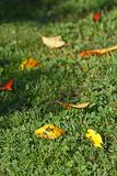 Autumn leaves. Some autumn colorful leaves in the grass Royalty Free Stock Photography