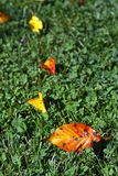 Autumn leaves. Some autumn colorful leaves in the grass Royalty Free Stock Photo