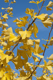Autumn Leaves. Yellow autumn leaves on blue sky background royalty free stock images