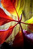 Autumn leaves. Royalty Free Stock Photo