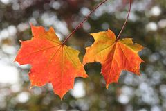 Autumn Leaves. Two colourful autumn leaves with blurry background stock images