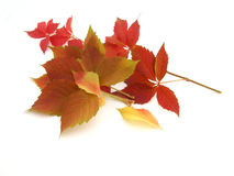 Autumn leaves. On white background Royalty Free Stock Photo