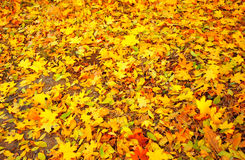 Free Autumn Leaves Stock Photography - 22103292