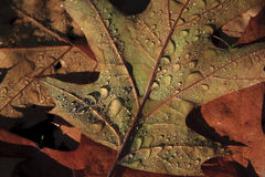 Autumn leaves. With morning frost melting Royalty Free Stock Photo