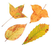 Autumn leaves. Four autumn leaves isolated on white Stock Photography