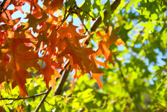 Autumn Leaves. Oak Leaves in Autumn Colors Stock Photos