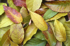 Autumn Leaves. Autumn softly colors these fallen leaves Stock Images