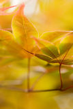Autumn Leaves. Golden yellow autumn leaves on a tree Stock Photography