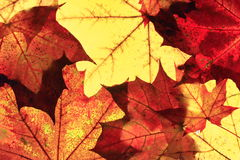 Autumn leaves. Colorful autumn leaves of a maple tree Stock Photo