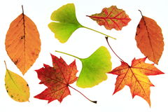 Autumn leaves. Colorful autumn leaves before white background Stock Images