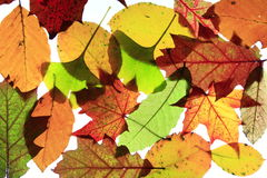 Autumn leaves. Colorful autumn leaves of different trees Royalty Free Stock Photography