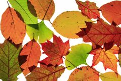Autumn leaves. Colorful autumn leaves before white background Stock Image