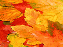 Autumn leaves. – background Stock Images
