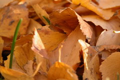 Autumn Leaves. Close up on birtch leaves that have fallen to the ground royalty free stock images