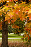 Autumn Leaves. Close up of maple leaves changing color in autumn Stock Photography