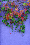 Autumn leaves. Against a purple wall Stock Images