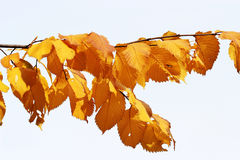 Autumn leaves. Branch with autumn yellow leaves Royalty Free Stock Photo