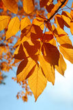 Autumn Leaves. Against a blue sky Royalty Free Stock Image