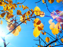 Autumn Leaves. Yellow Autumn leaves in a tree in front of a blue sky, with sunlight shining through them Royalty Free Stock Image