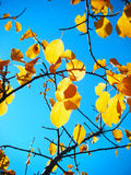 Autumn Leaves. Yellow Autumn leaves in a tree in front of a blue sky, with sunlight shining through them Stock Photos