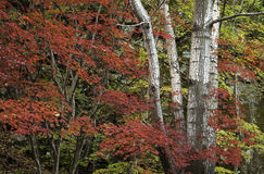Autumn leaves. Leaves are turning red or yellow, announcing the coming of the autumn Stock Photos