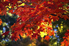 Autumn Leaves. Orange and red Fall leaves of Indiana stock photos