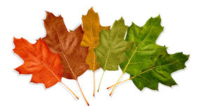 Autumn Leaves. Multiple colors from green to bright red isolated on a white background Royalty Free Stock Photography